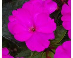 Impatiens Sunpatiens Compatto Purple (vaso 14 cm)