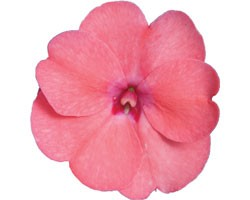 Impatiens Sunpatiens Compatto Coral Pink (vaso 14 cm)