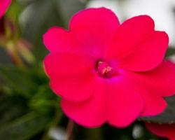 Impatiens Sunpatiens Compatto Pink Glow (vaso 14 cm)