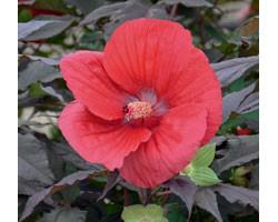 Hibiscus moscheutos Summerific Midnigth Marvel (vaso 18 cm)