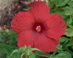 Hibiscus moscheutos Summerific My Valentine (vaso 18 cm)