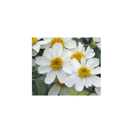 Pianta di Bidens Bellamy white (Vaso 14 cm)