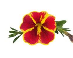 Calibrachoa Superbells Red Starbust (Vaso 14 cm)