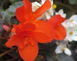 Pianta di Begonia Unstoppable Upright Fire (Vaso 14 cm)