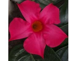 Dipladenia Sundaville Classic Fuchsia Pink (Vaso 12 cm)