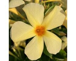 Dipladenia Sundaville Mimi Yellow (Vaso 12 cm)