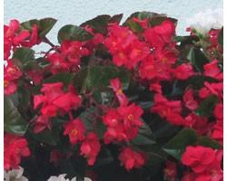 Begonia Gigante Ricadente (vaso 14 cm)