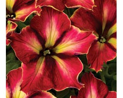 Petunia Crazytunia Mandevilla (vaso 14 cm)