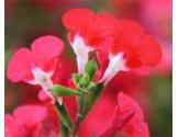 Piante di Salvia