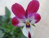 Piante di Viola Wild Rabbit