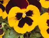 Piante di Viola a Fiore Grande