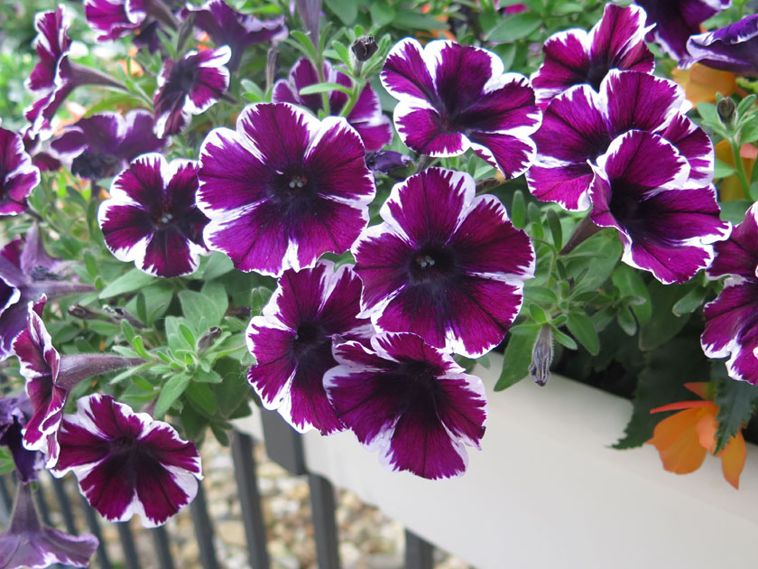 Pianta di petunia miss marvelous vaso 14 cm societ for Petunie inverno