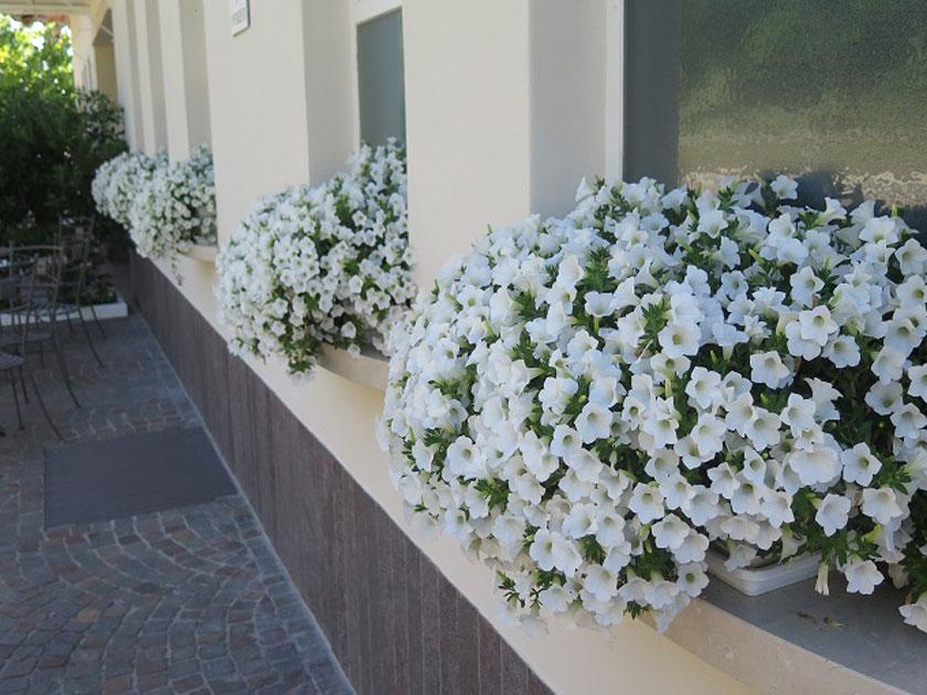 La Petunia Surfinia Table White Appartiene Al Gruppo Delle Petunie Che  Ricadono Oltre I 50 Cm. Pianta Che Si Presta Ad Essere Associata A Molte  Piante Sia ...