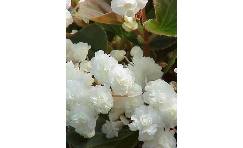 Pianta Di Begonia Paso Doble White Vaso 14 Cm Società Agricola