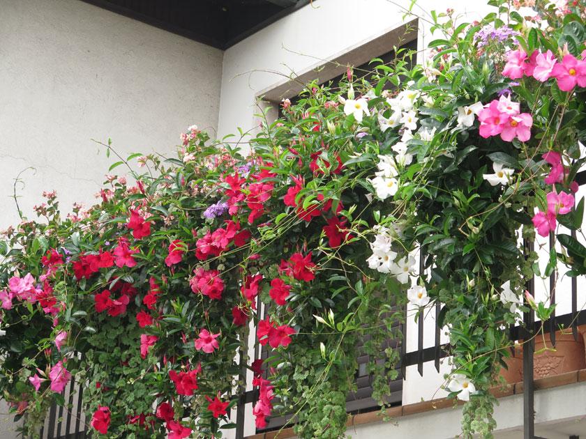 pianta di dipladenia sundaville classic red vaso 12 cm