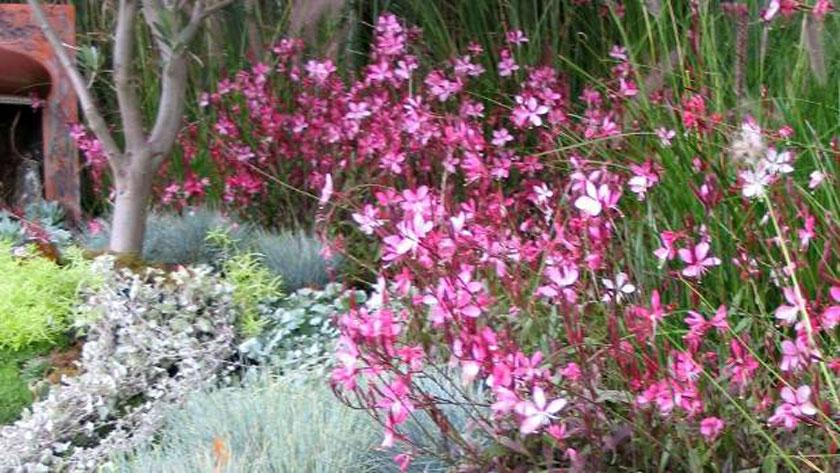 Pianta Di Gaura Pink Vaso 14 Cm Società Agricola Il Sumenzat