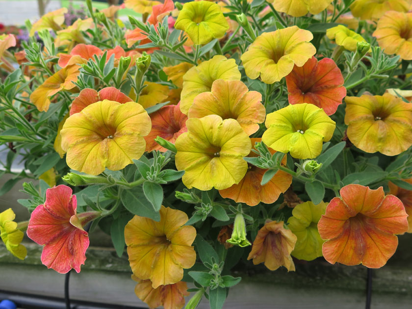 Pianta di petunia casadias indian summer vaso14 for Ocra pianta