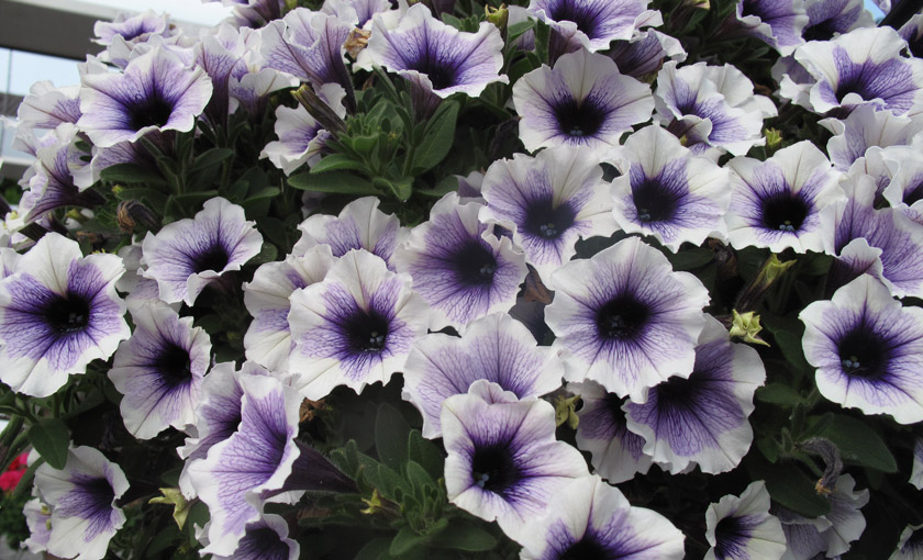 Pianta di petunia sweetunia purple spotlight vaso 14 cm for Petunie inverno