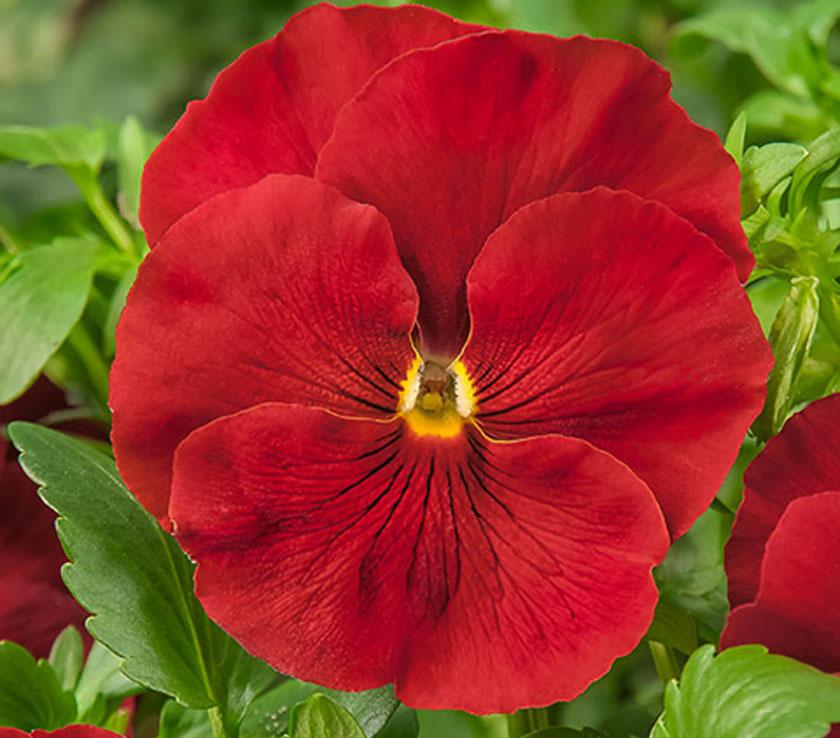 Pianta Di Viola A Fiore Grande Cello Scarlet Società Agricola Il
