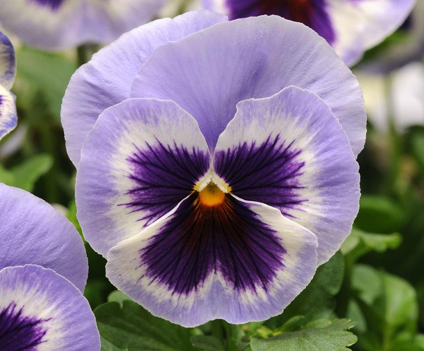 Pianta Di Viola A Fiore Grande Inspire Plus Marina Società